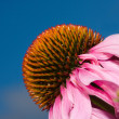Cone Flower (echinacea) - Stock Photo