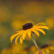 Black-eyed Sus(Rudbeckihirta) — Photo #5444110