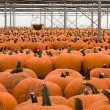 Rows and Rows of Pumpkins — Stock Photo #5444126