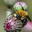 Colorful Bee — Stock Photo