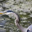 Great Blue Heron — Stock Photo