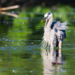 Great Blue Heron Fishing — Stock Photo #5444217