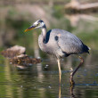 Great Blue Heron Fishing — Stock Photo #5444231