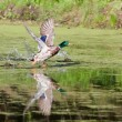 Mallard taking off — Stock Photo