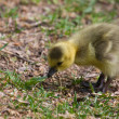 Cute Gosling Eating Grass — Stock Photo