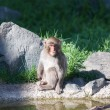 Japanese Macaque Sitting Quietly — Stock Photo