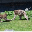 Two Macaque Monkey's playing tug-of-war — Stock Photo