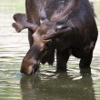 A Bull Moose drinking from a pond. — Stock Photo