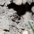 Black Ant — Stock Photo