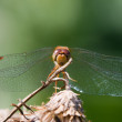 Wandering Glider Dragonfly — Stock Photo