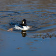 Common Goldeneye Drake — Stock Photo