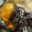 Stock Photo: Spider Monkey Sleeping