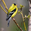 Goldfinch Perched — Stock Photo #5445473
