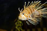 Lion fish in aquarium — Stock Photo