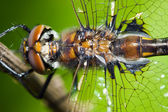 Common Darter Dragonfly — Stock Photo