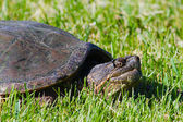 Common Snapping Turtles — Stock Photo