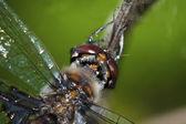 Gemeinsame Heidelibelle Libelle — Stockfoto
