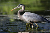 Great Blue Heron Fishing — Stock Photo