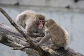 Macaque (Snow) Monkey's — Stock Photo