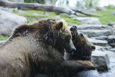 Grizzly (Brown) Bear Fight — Stock Photo