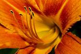 Orange Day Lily — Stock Photo