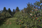 Apple Orchard full of rippend apples. — Stock Photo