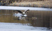 Canadian goose landing on water — Stock Photo