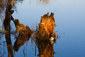 Stump in a Swamp. — Stock Photo
