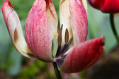 Close-up of the colorful tulip — Stock Photo