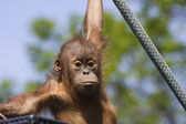 Baby Orangutan — Stock Photo