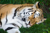 Bengal Tiger Sleeping — 图库照片