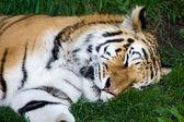 Bengal Tiger Sleeping — Stock Photo