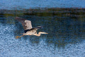 Great Blue Heron Flying. — Stock Photo