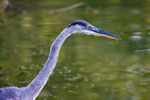 Great Blue Heron Hunting. — Stock Photo