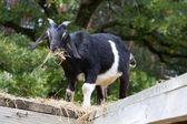 黒と白のヤギを食べる — ストック写真