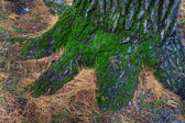 Mossy Tree Trunk. — Stock Photo