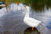 Domestic white goose. — Stock Photo