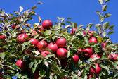 青い空を背景に赤いリンゴ支店. — ストック写真