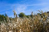 Corn Field. — Stock Photo