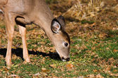Young Deer eating grass. — Стоковое фото