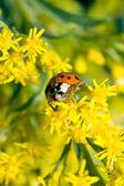 Asian Ladybug Beetle (Harmonia axyridis) — Stock Photo