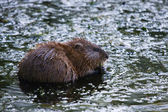Beaver Eating — Stock Photo
