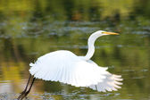 Great Egret Flying — Stock Photo