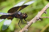 Widow Skimmer Dragonfly — Stock Photo