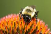 Golden Northern Bumblebee — Stock Photo