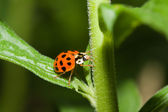 Asian Ladybug Beetle (Harmonia axyridis) — Stock Photo