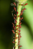 Aphids on a Stem — Stock Photo