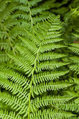 Fern Branch — Stock Photo