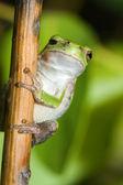 One Eyed Cope's Gray Tree frog. — Stock Photo