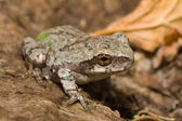 Eastern Gray Tree Frog — Stock Photo